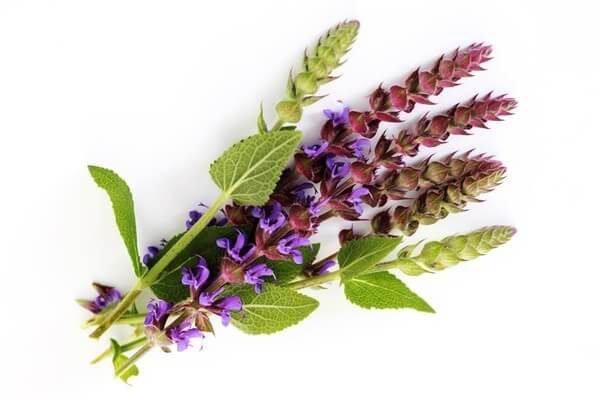 Шалфей лекарственный– описание, польза и вред, рецепты, отзывы