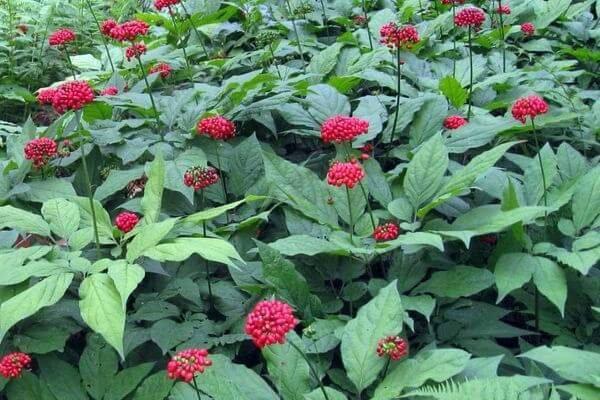 Женьшень. Какие травы заменяют кофе? ТОП-5 вариантов взбодриться.