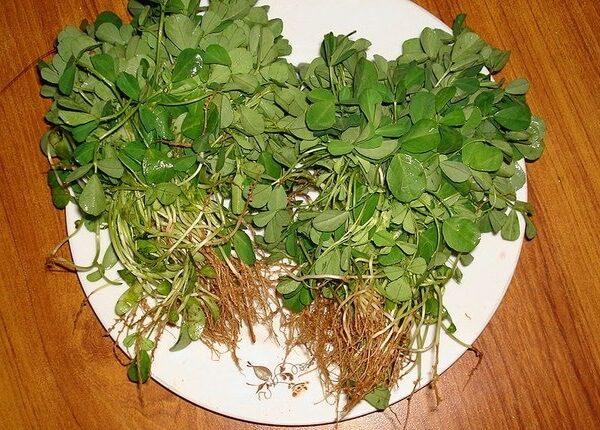 Пажитник сенной – описание, польза и вред, рецепты, отзывы.