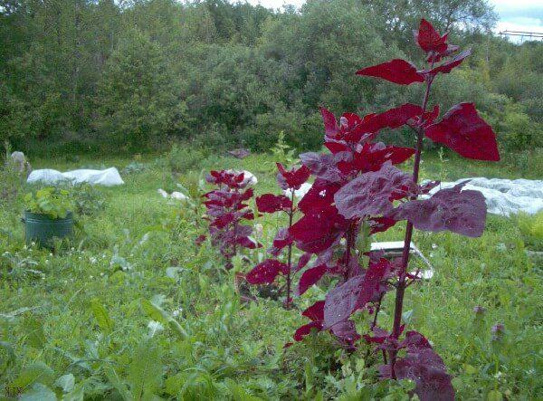 Лебеда садовая – описание, польза и вред, рецепты, отзывы