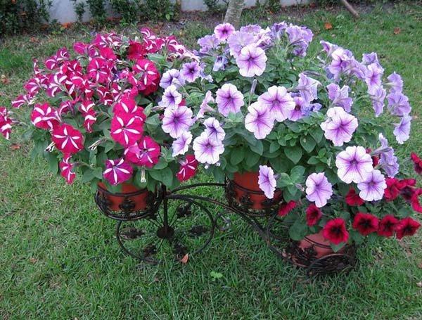 Клумбы из петуний - идеи красивого оформления цветников (вертикальных и других)