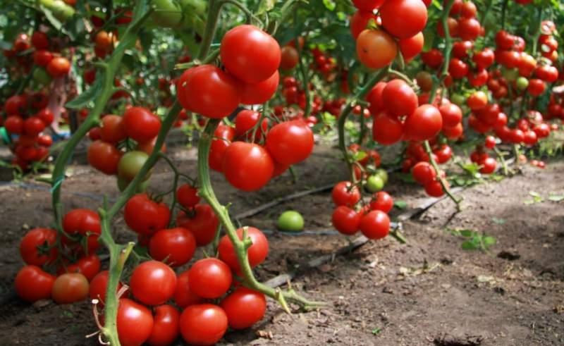 В чем разница Детерминатных и Индетерминатных помидор (томатов)