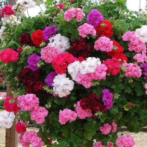 Пеларгония Ампельная выращивание и уход в домашних условиях