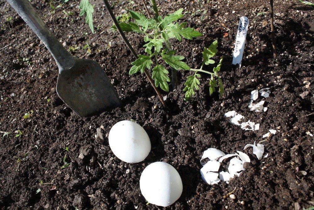 Яичная скорлупа как удобрение для каких растений и огорода
