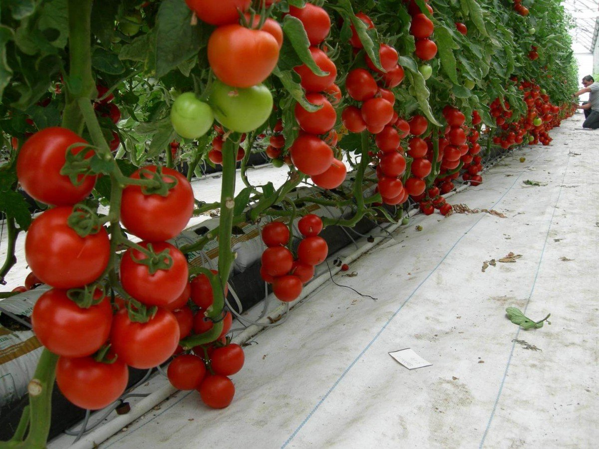 Выращивание помидоров в теплице зимой