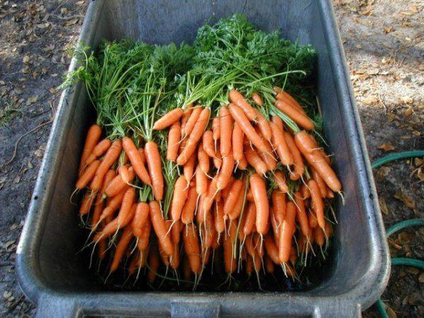 Как сохранить морковь на зиму в подвале и подполе