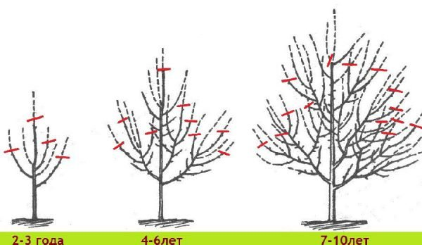 Как правильно делать обрезку яблонь