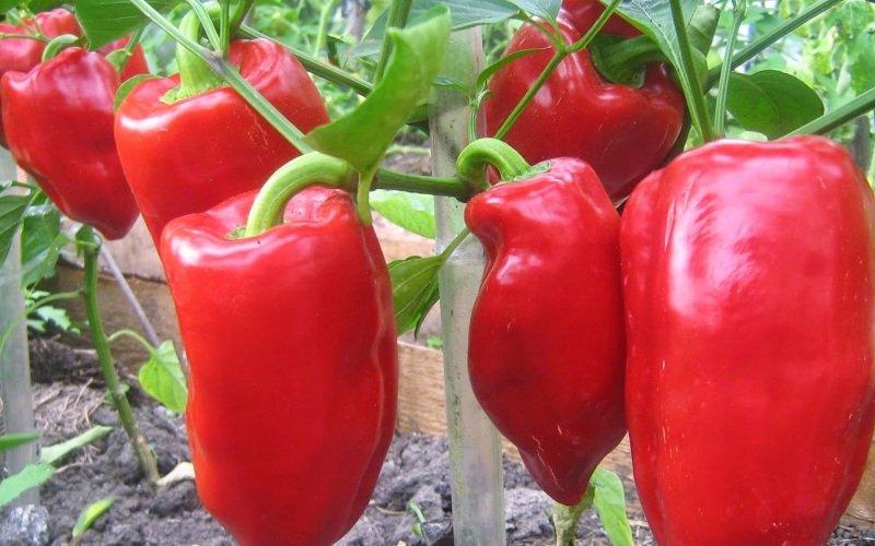 Лучшие сорта перца и когда сажать перец на рассаду по лунному календарю