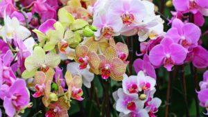 Применение янтарной кислоты для орхидей: приготовление раствора, правила полива