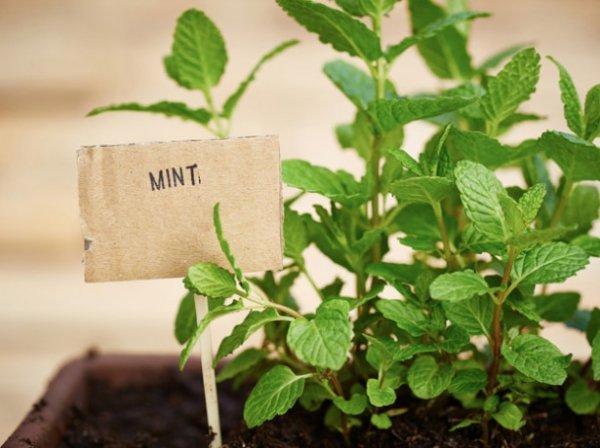 Выращивание мяты на подоконнике, ЧАСТНЫЙ ДОМ