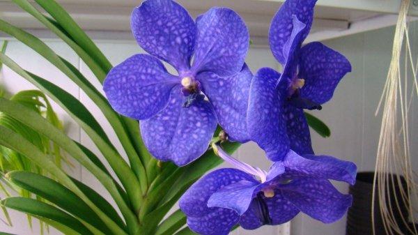 Орхидея Ванда: уход за цветком в домашних условиях
