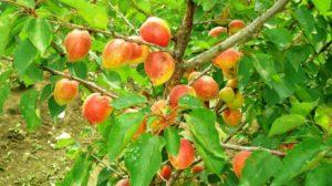 Уход за абрикосом осенью: обрезка и укрытие на зиму