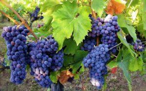 Обрезаем виноград весной правильно