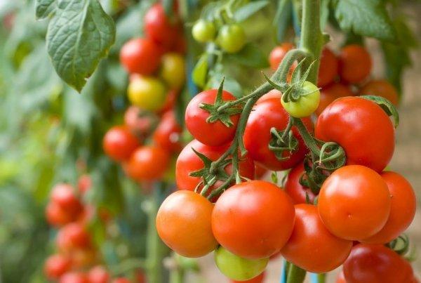 Пасынкование помидор в теплице видео