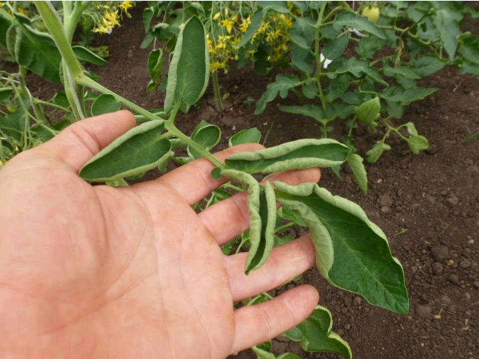Почему крутятся листья на помидорах что делать