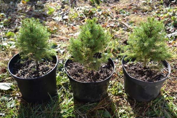 Посадка ели весной в саду: уход и выращивание в открытом грунте