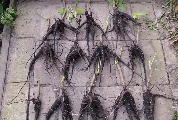 Посадка и уход за мирабилисом в открытом грунте: когда сеять семена и высаживать клубни