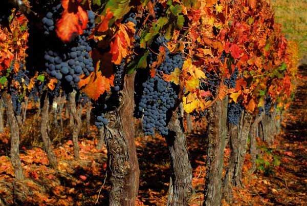 Посадка винограда осенью: когда и как лучше сажать