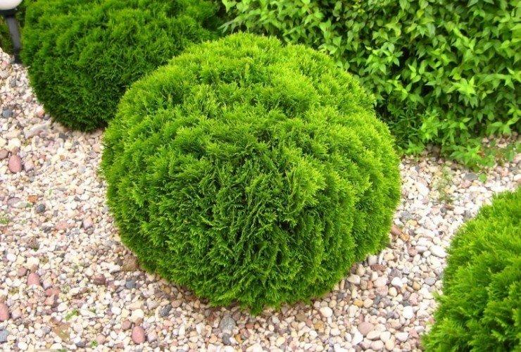 Туя шаровидная — посадка и уход в саду