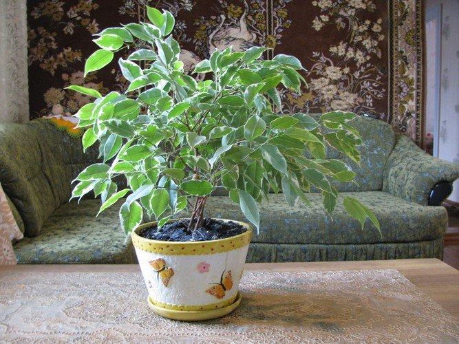 Как размножить фикус Бенджамина в домашних условиях?
