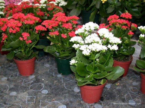 Цветок каланхоэ уход в домашних условиях, фото