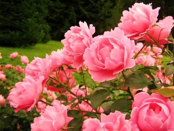 Розы – уход за «королевой цветов» осенью и подготовка к зиме