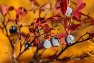Уход за голубикой осенью и подготовка к зиме: удобрение, обрезка и укрытие