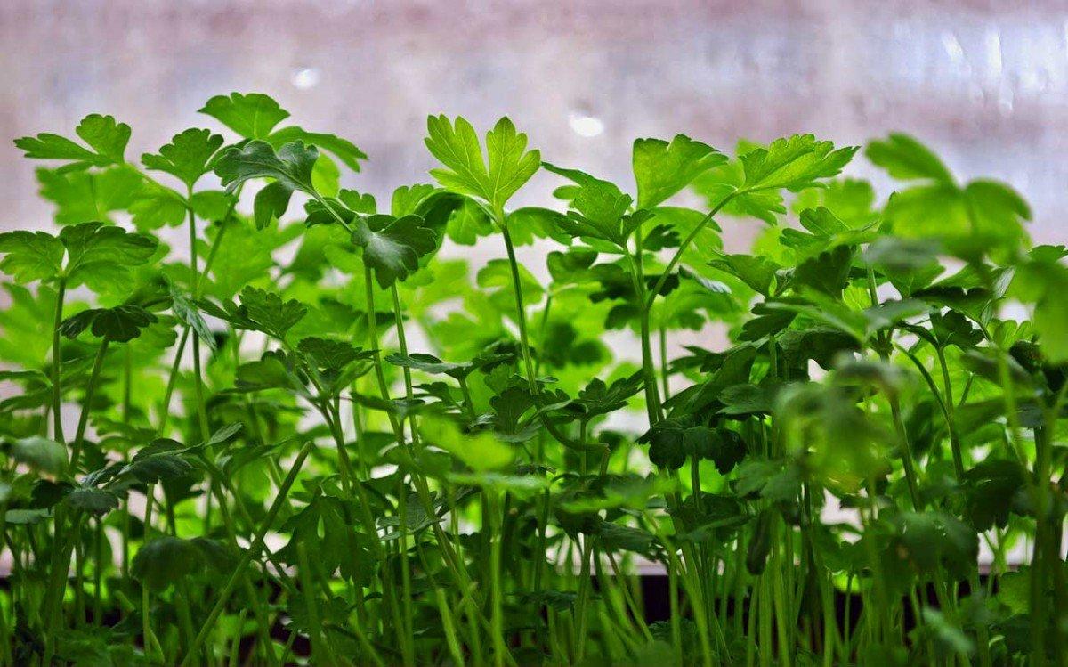 Петрушка выращивание и уход в открытом грунте