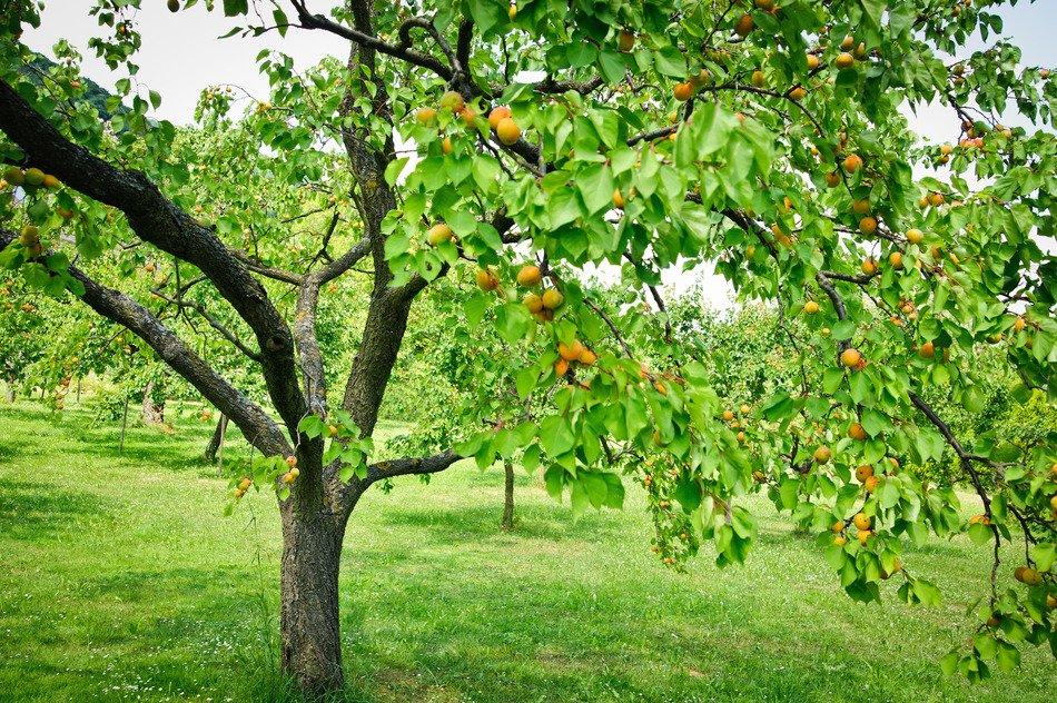 Схема обрезки абрикоса осенью