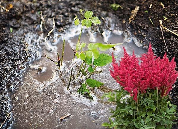 Посада астильбы в открытый грунт: правила ухода и выращивания