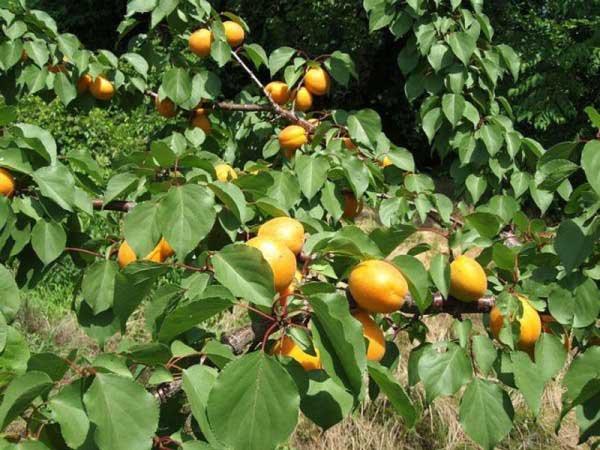 Прививка абрикоса весной