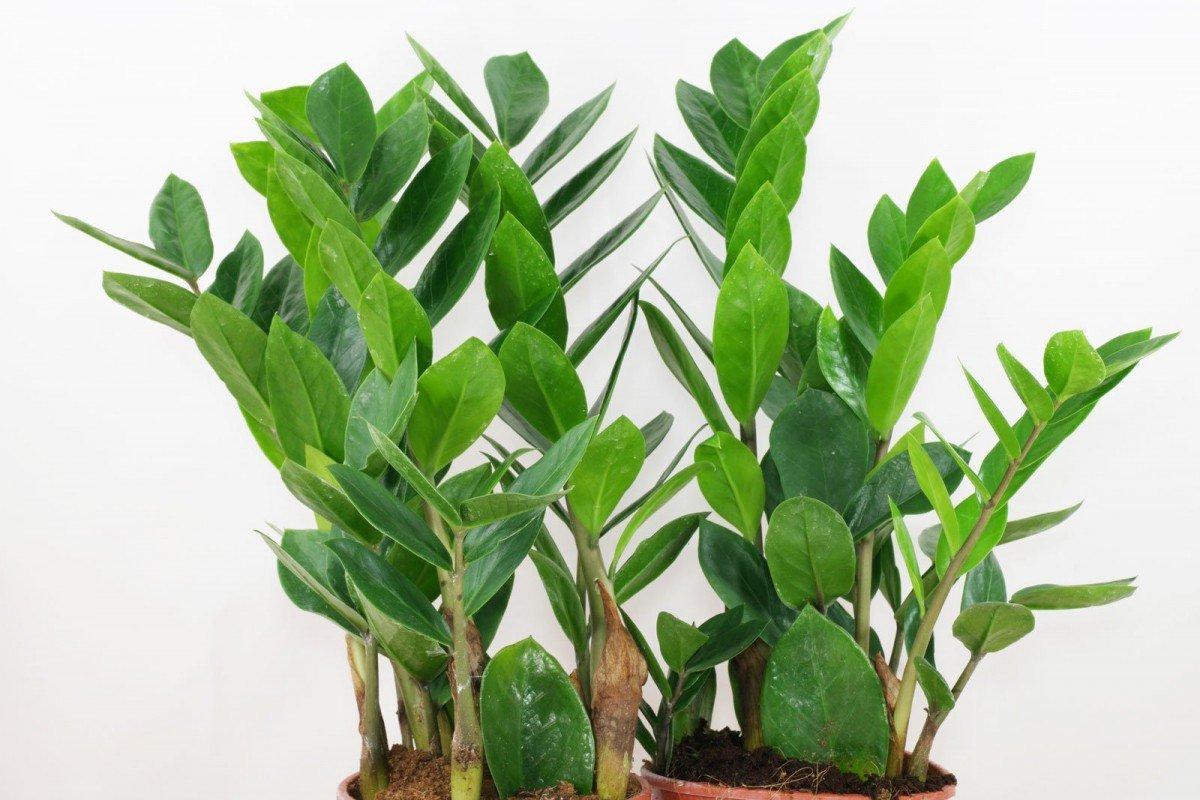 Замиокулькас родина растения