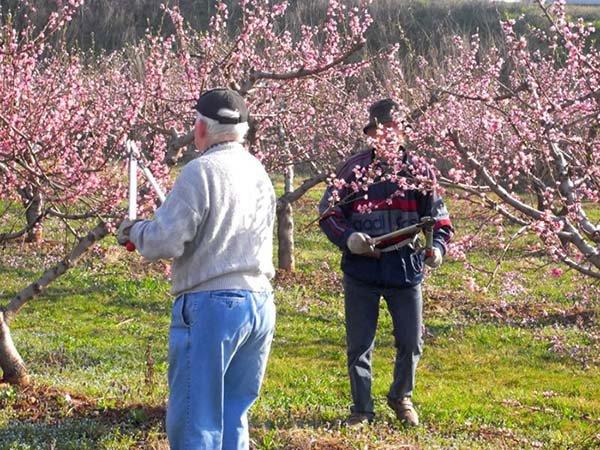 Уход за персиком весной: основные манипуляции