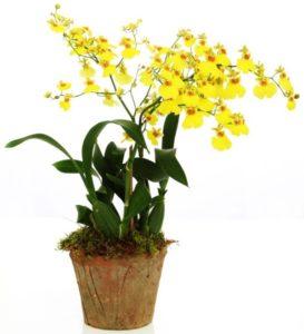 Орхидея Онцидиум: всё об уходе, посадке и размножении
