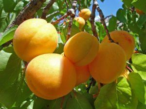 Как посадить абрикос весной