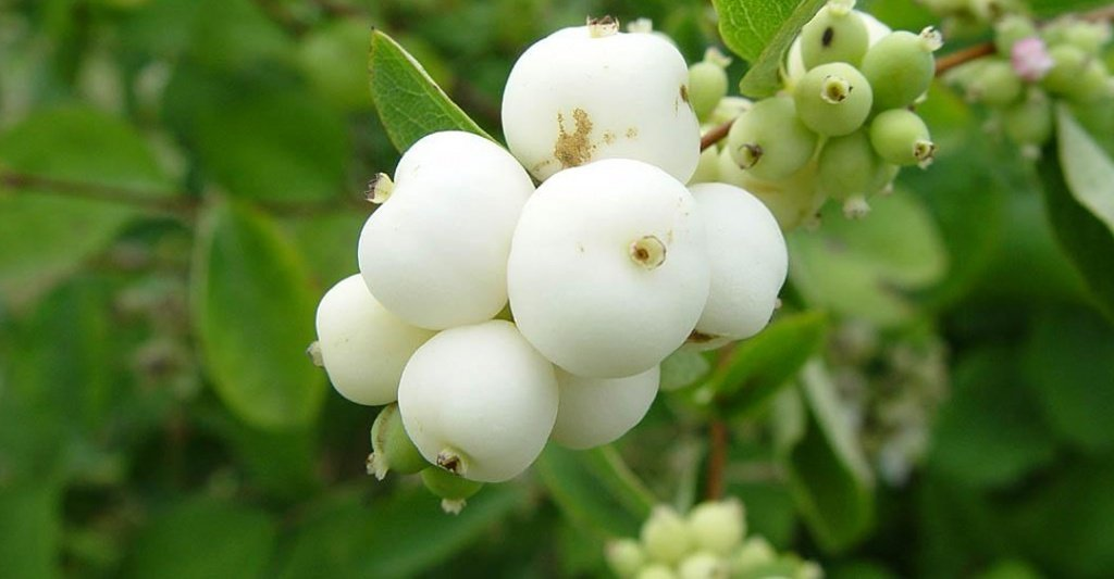 Снежноягодник белый выращивание, фото и описание
