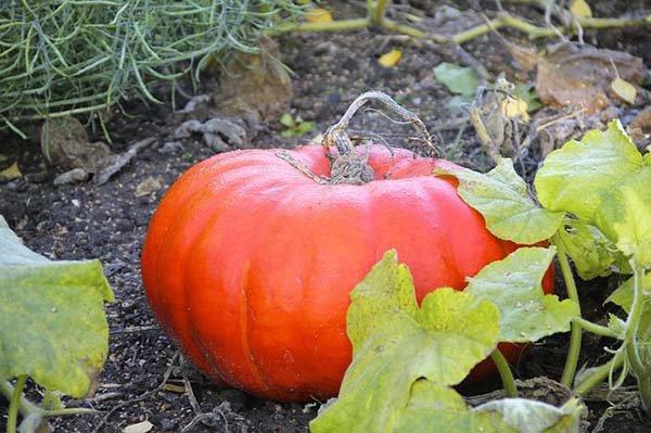 Посадка тыквы в открытый грунт и на рассаду: основы выращивания и ухода