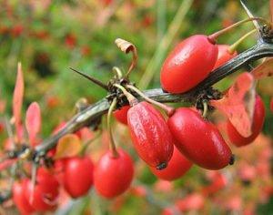Барбарис — уход осенью и подготовка к зиме: обрезка и укрытие