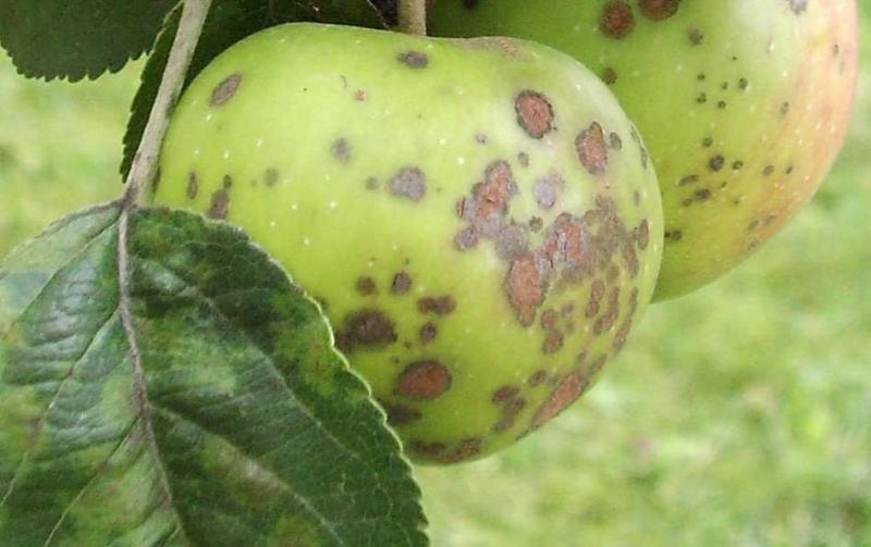 Парша на яблоне как бороться весной