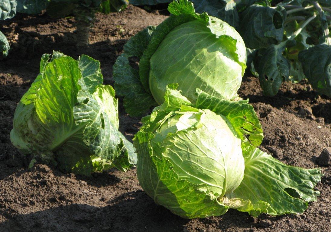 Чем подкормить землю осенью под капусту