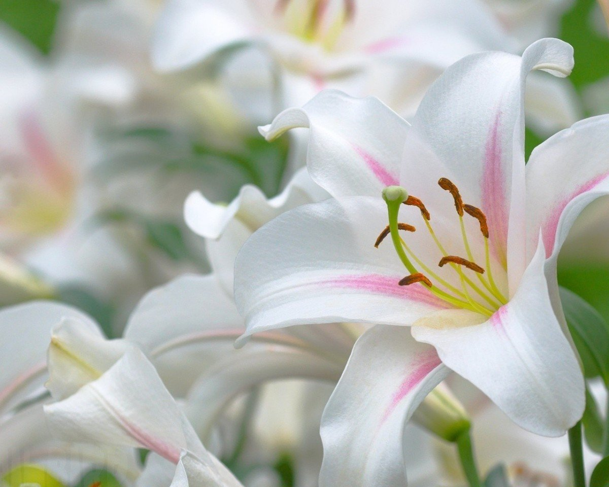 Когда выкапывать лилии после цветения