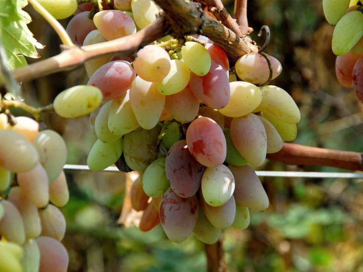 Как подкормить виноград весной