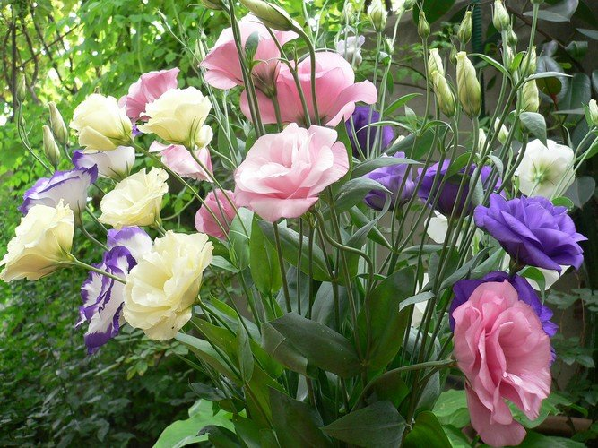 Эустома из семян на рассаду - выращивание и уход