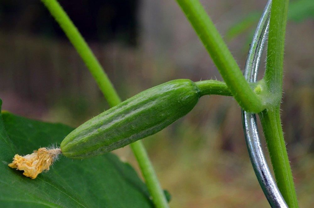 Почему не растут огурцы в открытом грунте