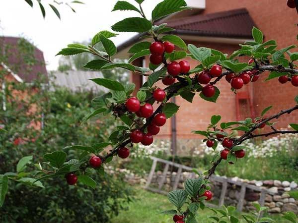 Посадка вишни весной