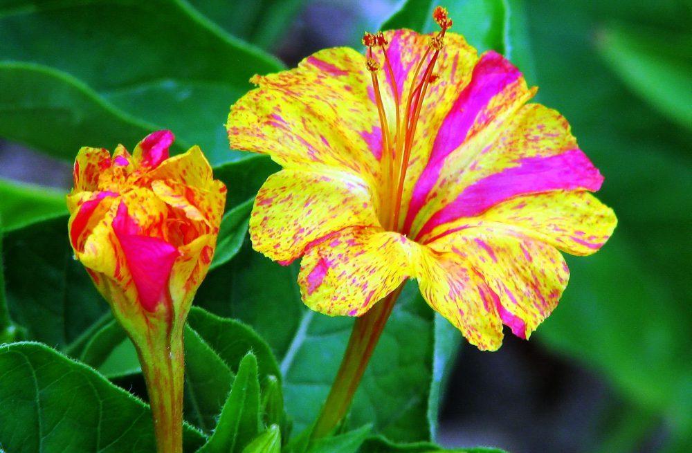 Мирабилис выращивание из семян и уход в домашних условиях