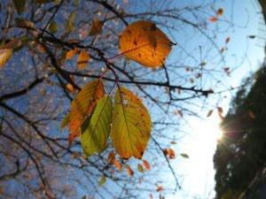 Уход за черешней осенью и подготовка к зиме