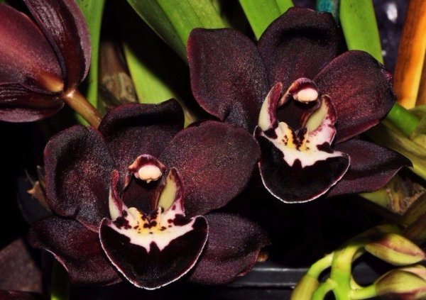 Черная орхидея купить цветок в горшке
