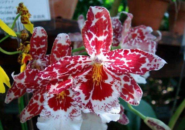 Орхидея камбрия выращивание и уход в домашних условиях