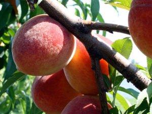 Прививка персика весной и летом